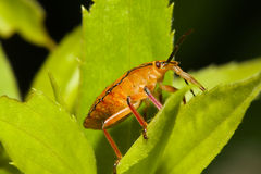 Shield bugs, also known as stink bugs. Royalty Free Stock Photos