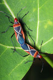 Shield Bugs (Dysdercus philippinus) Mating Royalty Free Stock Image