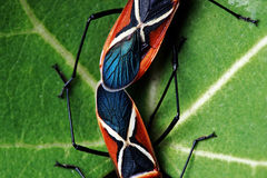 Shield Bugs (Dysdercus philippinus) Mating Royalty Free Stock Photography