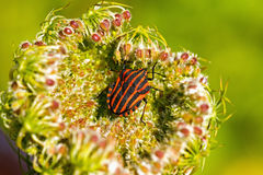Shield smuggling (Graphosoma lineatum) on the plant Stock Photo