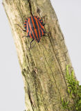 Shield stink bug on branch Stock Photography