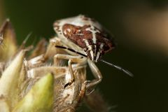 Shield stink bug Stock Image