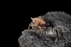 Shield stink bug Royalty Free Stock Photos