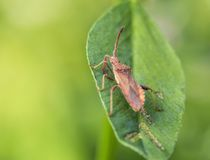 Shield stink bug on the leaf Royalty Free Stock Image
