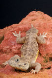Shield tailed agama. The Dwarf Shield Tailed Agama (Xenagama taylori)  is a small agamid originating from arid regions of Ethiopia and Somalia.  The tail Stock Photos
