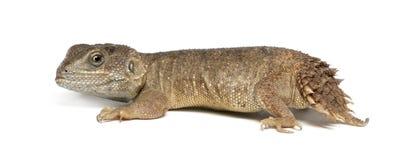 Shield-tailed Agama - Xenogama taylori Royalty Free Stock Photography