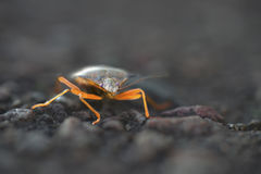 Shieldbug με τα φωτισμένα πόδια Στοκ εικόνες με δικαίωμα ελεύθερης χρήσης