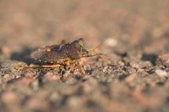 Shieldbug στον ήλιο Στοκ Φωτογραφία