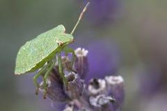 Shieldbug Lizenzfreies Stockfoto