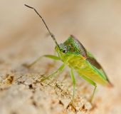 Shieldbug Stock Photo