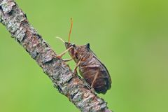 Shieldbug Stock Image