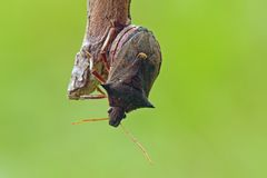 Shieldbug Royalty Free Stock Photography