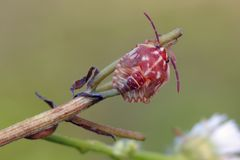 Shieldbug. Red shieldbug's nymph (Carpocoris purpureipennis) on flower royalty free stock image