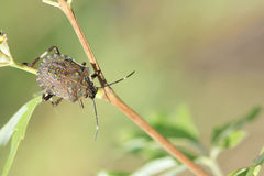 Shieldbug Fotos de Stock