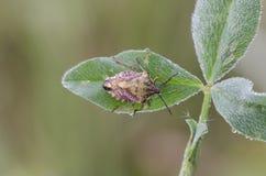 Shieldbug Fotografia Stock Libera da Diritti
