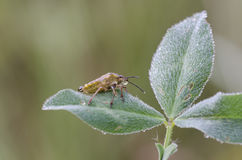 Shieldbug Royalty-vrije Stock Afbeelding