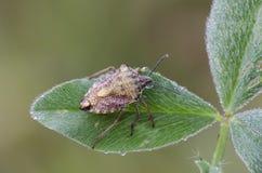Shieldbug Стоковые Изображения