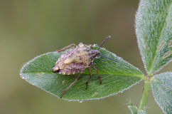 Shieldbug Στοκ Εικόνες