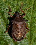 Shieldbug bidens Picromerus спиковое Стоковое Изображение RF