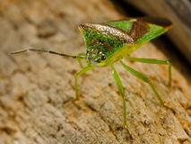Shieldbug Hawthorn Stock Images