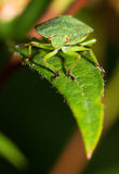 Shieldbug on a leaf Stock Images