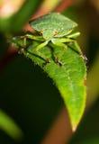 Shieldbug on a leaf Stock Images