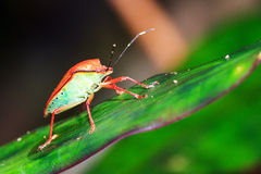 Shieldbug Masoala side Royalty Free Stock Images
