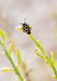 Shieldbug on plant Royalty Free Stock Photo