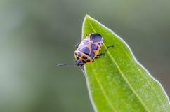 Shieldbug Stock Photo