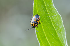 Shieldbug Stock Photos