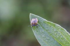 Shieldbug Stock Images