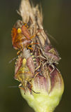 Shieldbugs alimentants, macro photo Photos libres de droits