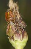 Shieldbugs d'alimentazione, foto a macroistruzione Fotografie Stock Libere da Diritti