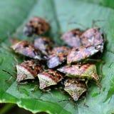 Shieldbugs de parent (grisea d'Elasmucha) photos libres de droits