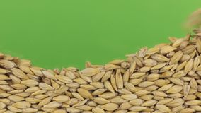 Shift the barley grains opening the green screen. Food background stock video