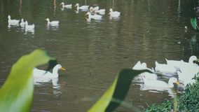 Herd of white ducks swimming in canal. Outdoor at daytime on summer day. Shift focus to herd of white ducks swimming in the pond water. Outdoor at daytime on stock video