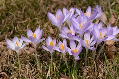 Shift to the right cluster of spring crocuses Royalty Free Stock Image