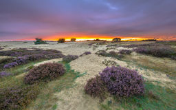 Shifting sands and Heath sunset. Shifting sands and Heath (Calluna vulgaris) in national park de Hoge Veluwe around sunset under a clouded sky in August Royalty Free Stock Photography