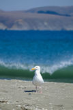 Shifty чайка Стоковые Фото