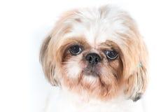 Shih在白色背景的tzu狗 免版税图库摄影