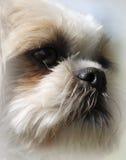 Shih慈济与美丽,大眼睛的狗画象 库存图片