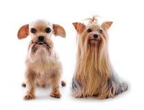 Shih慈济狗和Yorkie在白色背景的演播室 库存照片