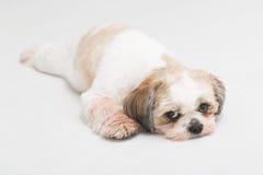 Shih摆在白色背景的tzu小狗 免版税库存照片