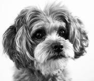 Shih Poo dog face. Cute shih-poo dog looking sweet and lovable. Profile dog photo stock photos