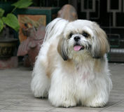 Shih Tsu Stockfotos