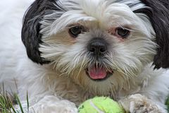 Shih Tsu and Ball Royalty Free Stock Image
