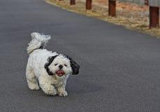 Shih Tsu, das einen Spaziergang macht Lizenzfreies Stockfoto