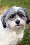 Shih Tsu et mélange de chien terrier de Jack Russell Image libre de droits
