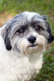 Shih Tsu and Jack Russell Terrier mix Royalty Free Stock Image