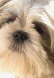 Shih-tsu lapso portrait. Close-up of a shih-tsu lapso puppy Stock Photography